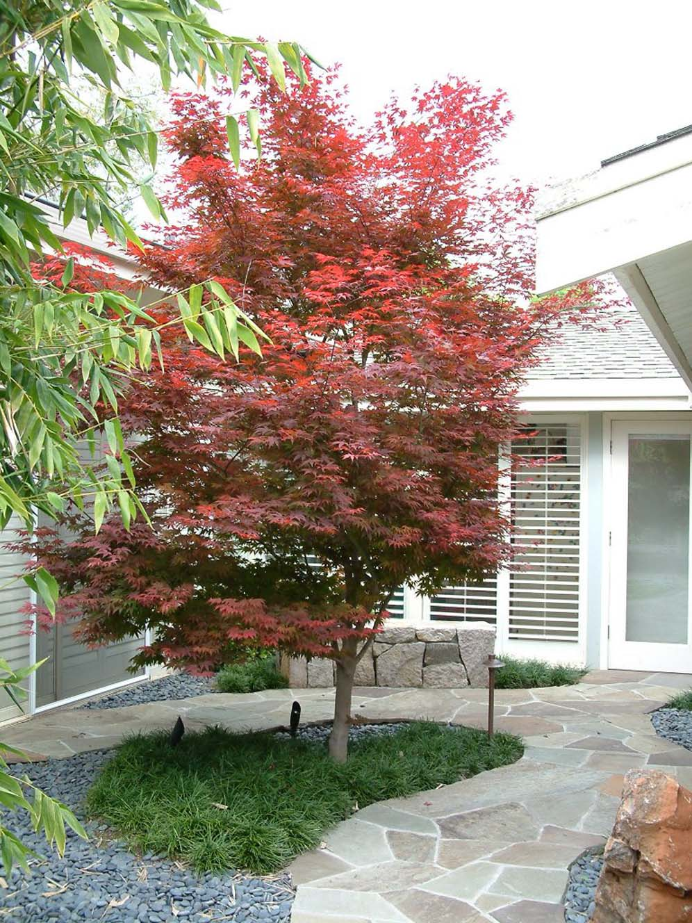Japanese Maple Focal Point
