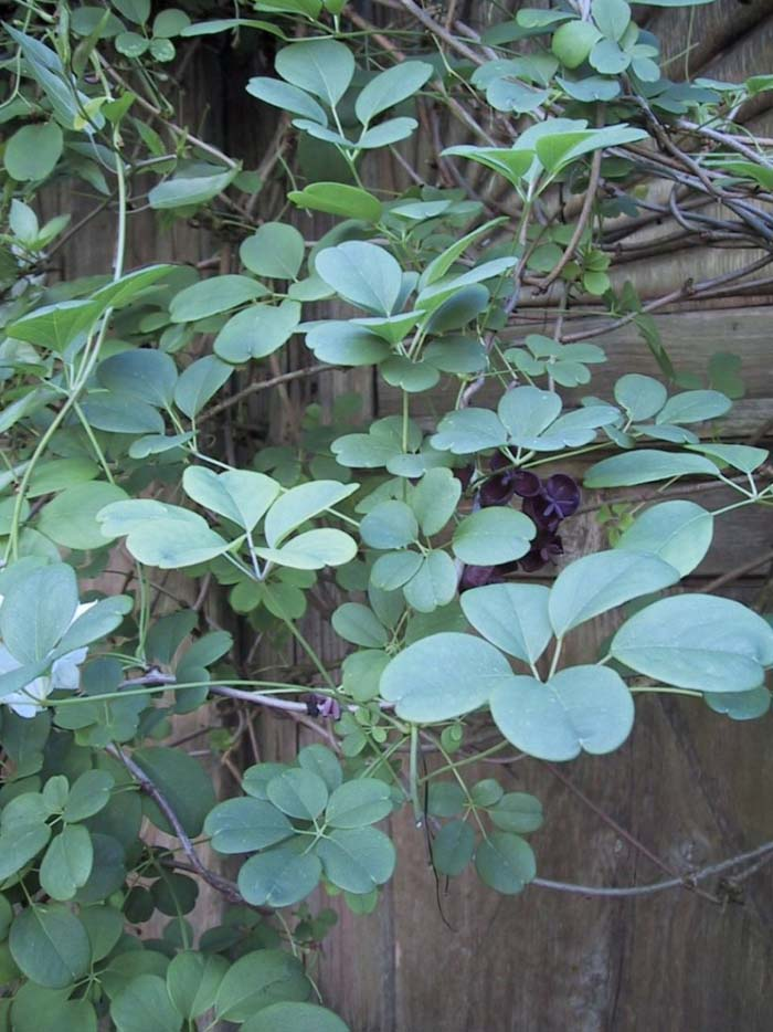 Plant photo of: Akebia quinata