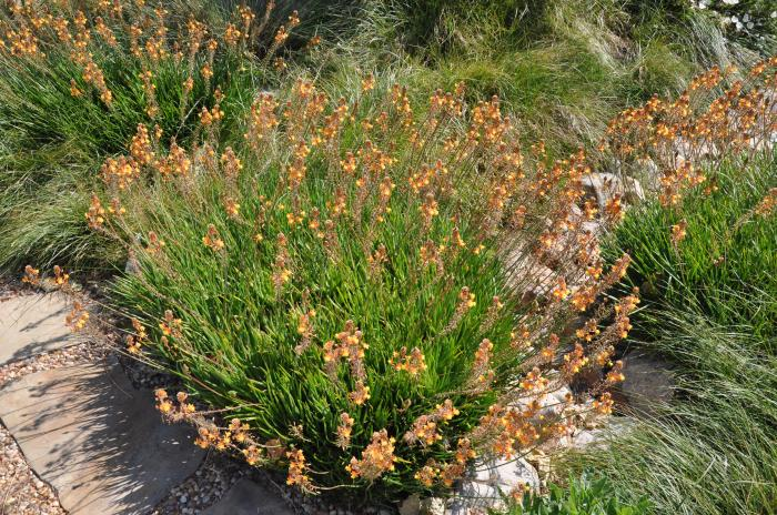 Plant photo of: Bulbine frutescens 'Hallmark'