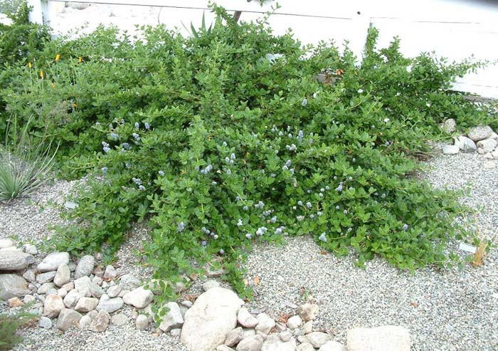 Plant photo of: Ceanothus griseus horizontalis