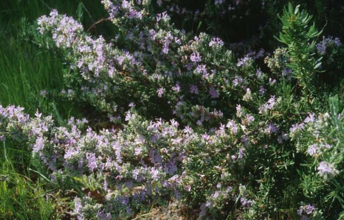Plant photo of: Rosmarinus officinalis 'Majorica  Pink'