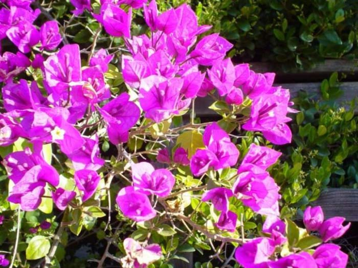 Plant photo of: Bougainvillea 'Brasiliensis'