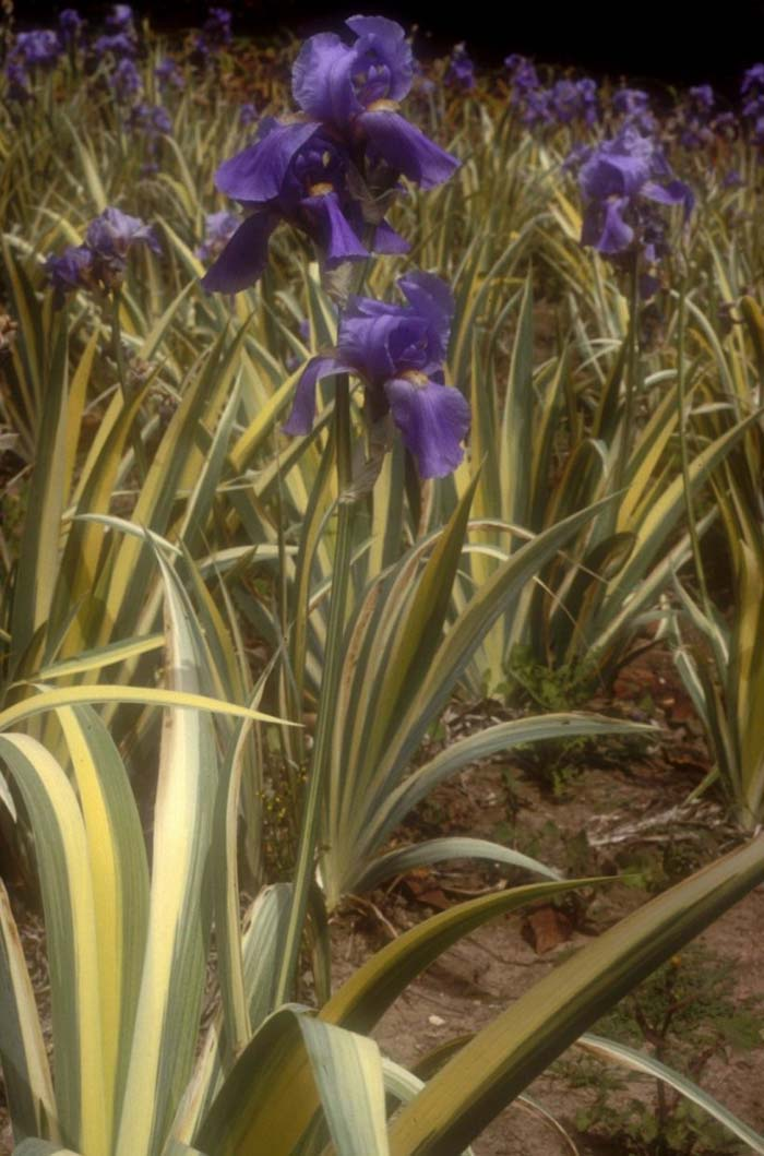 Plant photo of: Iris pallida 'Argentea Variegata'