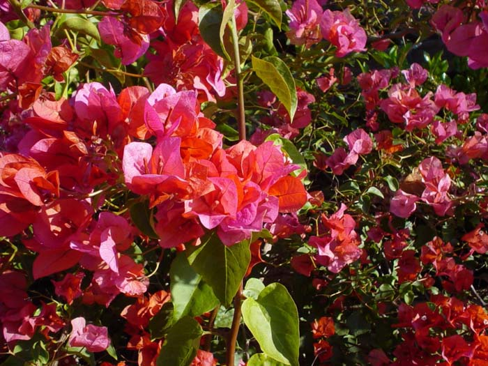 Plant photo of: Bougainvillea 'Rosenka'