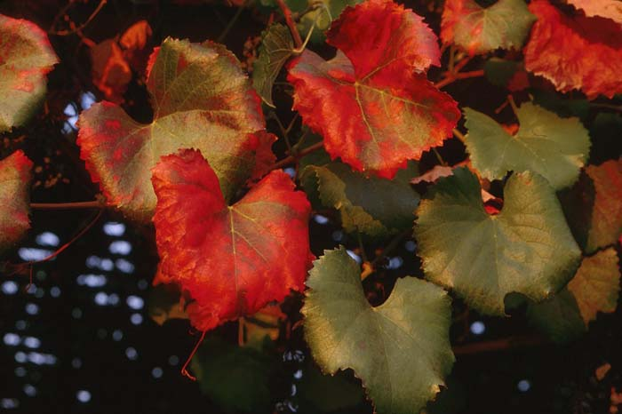 Plant photo of: Vitis californica 'Roger's Red'
