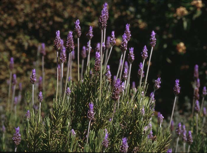 Plant photo of: Lavandula dentata