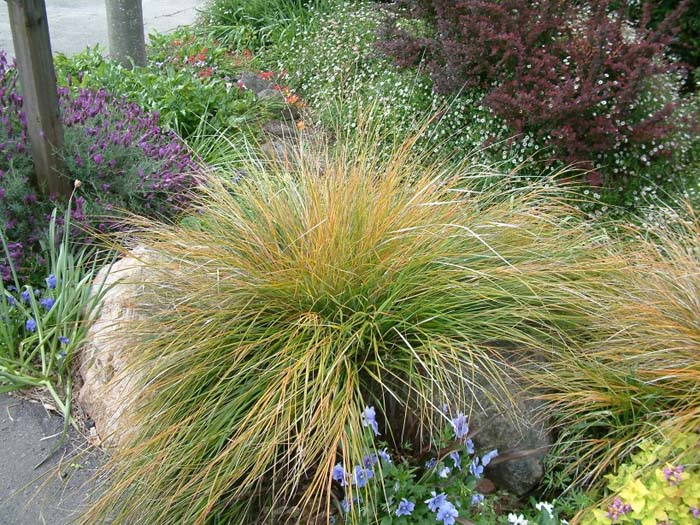 Plant photo of: Stipa arundinacea