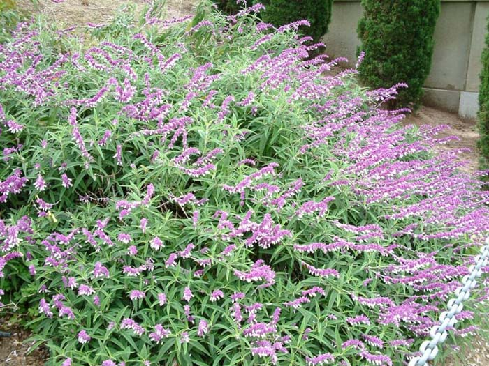 Plant photo of: Salvia leucantha