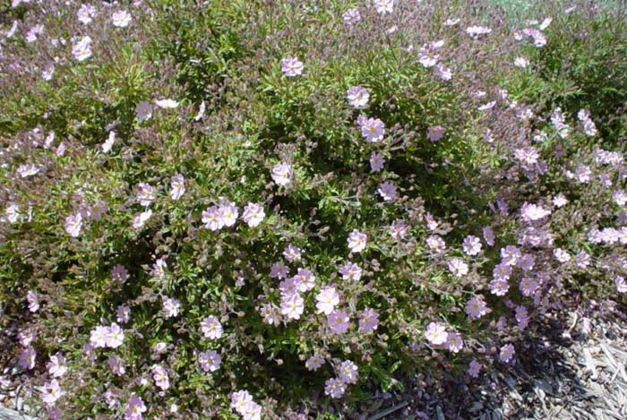 Plant photo of: Cistus skanbergii