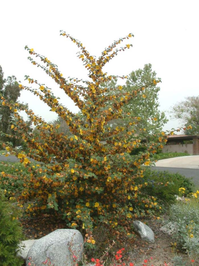 Plant photo of: Fremontodendron 'California Glory'