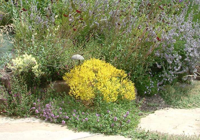 Plant photo of: Bidens ferulifolia 'Goldmarie'