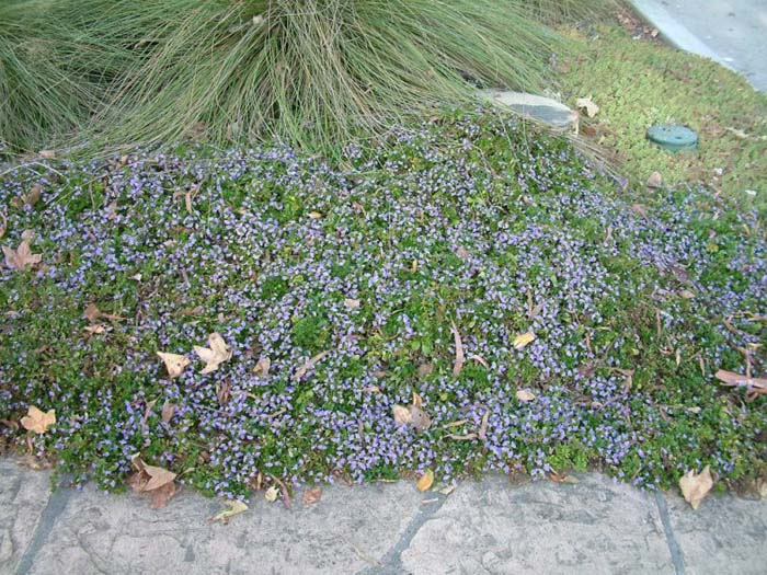 Plant photo of: Scaevola 'Mauve Clusters'