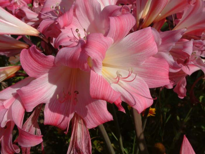 Plant photo of: Amaryllis belladonna