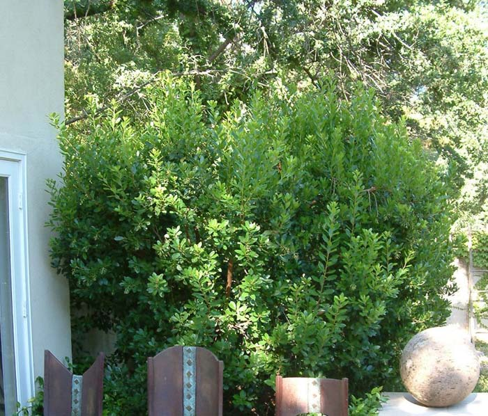 Plant photo of: Rhamnus alaternus