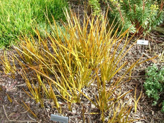 Plant photo of: Libertia peregrinans