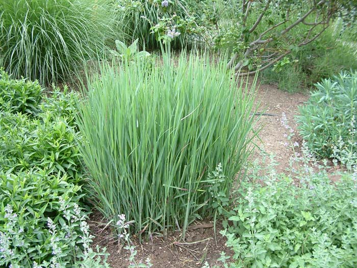 Plant photo of: Panicum virgatum 'Heavy Metal'