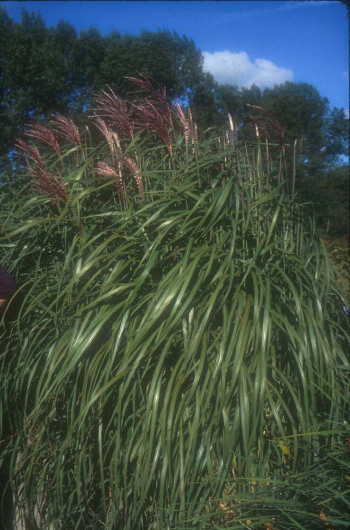 Plant photo of: Miscanthus sinensis 'Flamingo'