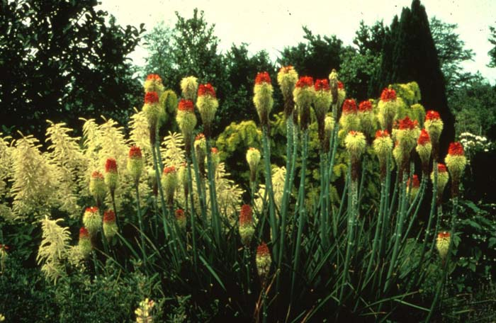 Plant photo of: Kniphofia hybrids