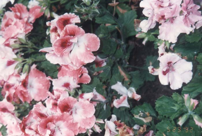 Plant photo of: Pelargonium domesticum
