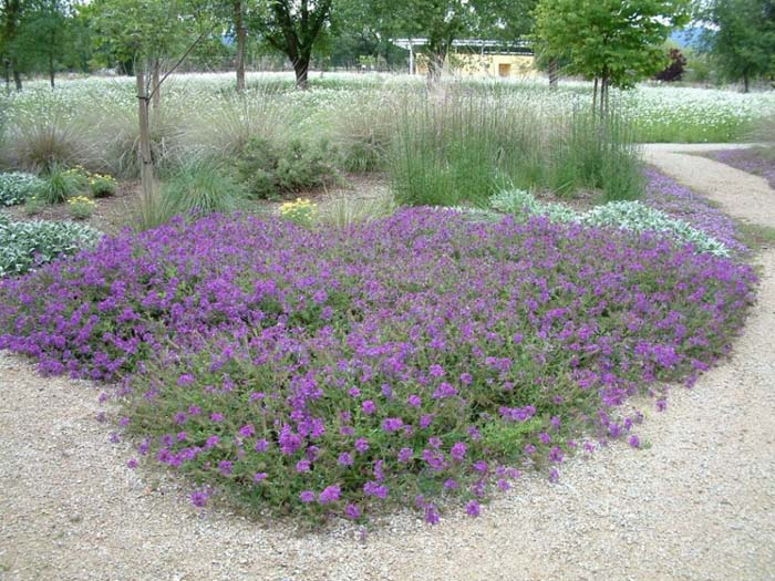 Plant photo of: Verbena 'Homestead Purple'