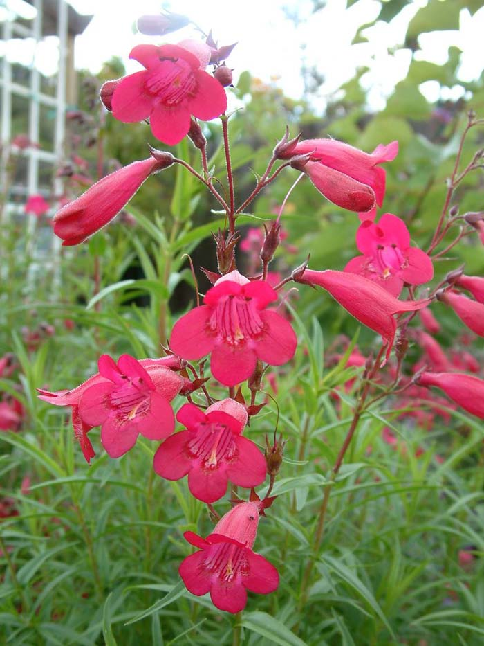 Plant photo of: Penstemon 'Ruby King'