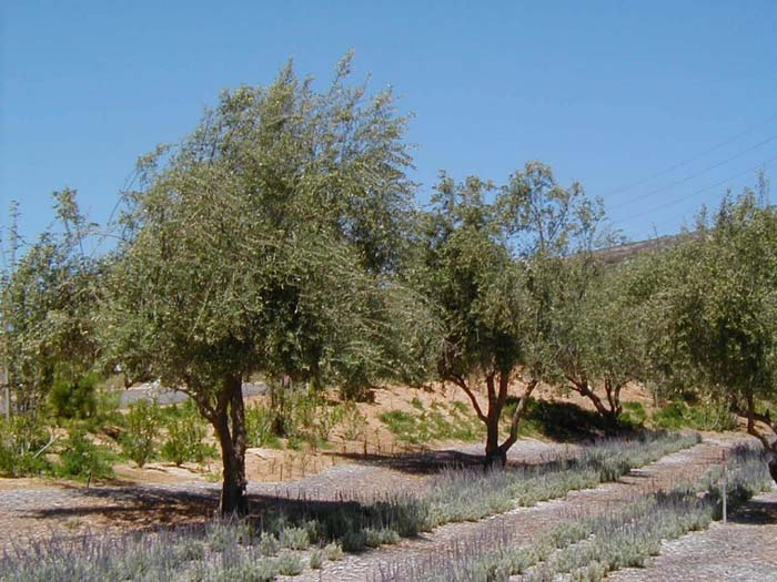 Plant photo of: Olea europaea