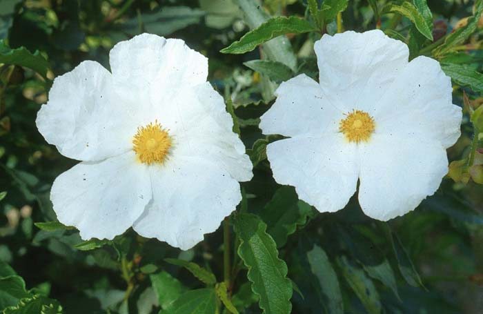Plant photo of: Cistus ladanifer 'Blanche'