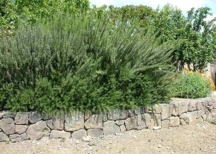 Plant photo of: Rosmarinus officinalis 'Ken Taylor'