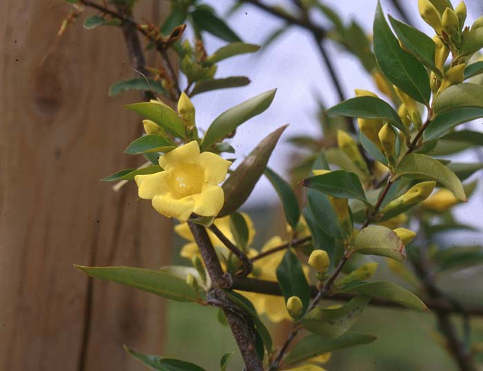 Plant photo of: Gelsemium sempervirens