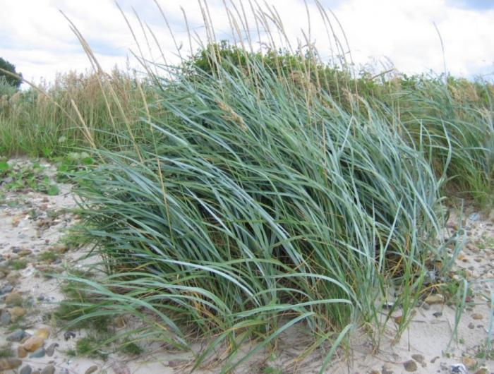 Plant photo of: Elymus glaucus