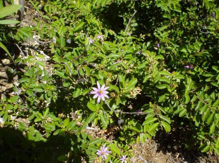 Plant photo of: Grewia occidentalis
