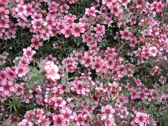 Plant photo of: Leptospermum scoparium 'Gaiety Girl'
