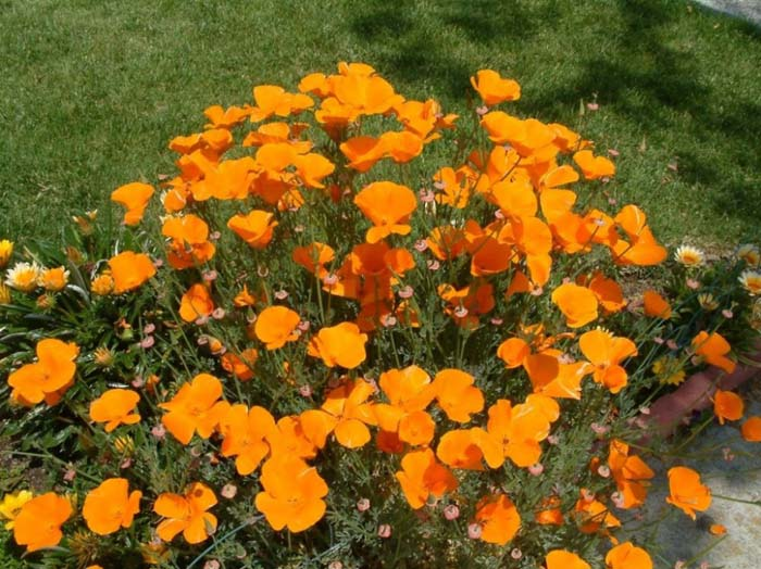 Plant photo of: Eschscholzia californica
