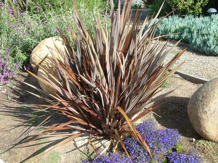 Plant photo of: Phormium tenax 'Atropurpureum'