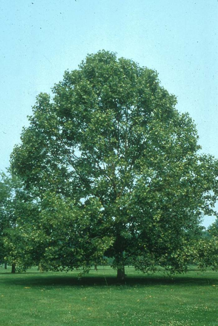 Plant photo of: Platanus occidentalis