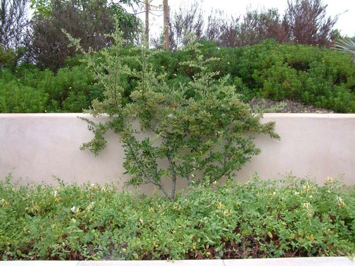 Plant photo of: Pyracantha fortuneana 'Graberi'