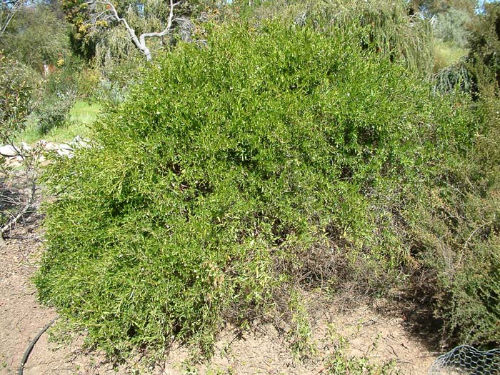 Plant photo of: Sollya heterophylla