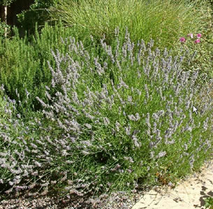 Lawn to Garden Perennials
