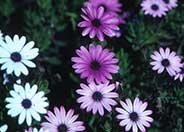 Freeway Daisy, Trailing African Dai