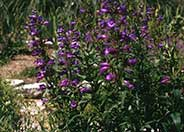 Penstemon Midnight'
