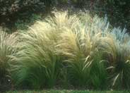 Mexican Feather Grass, Needlegrass