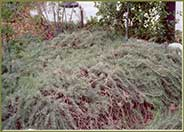 Artemisia californica 'Canyon Grey'
