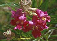 Chilopsis linearis