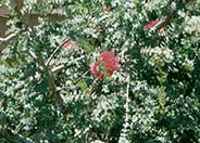 Honey Myrtle, Granite-Bottlebrush