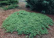 Juniperus chinensis 'Procumbens'