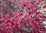 Leptospermum scoparium 'Ruby Glow'